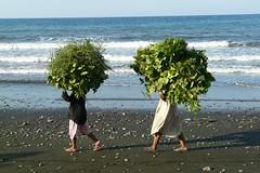 Green Heads at Pemuteran Beach, West Bali (Sekitar - thanks for 8 mio views!) Tags: sea bali food woman beach work indonesia head laut pantai kepala barat pemuteran sekitar westbali earthasia