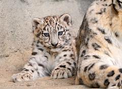 [フリー画像] 動物, 哺乳類, ネコ科, 豹・ヒョウ, 雪豹・ユキヒョウ, 201009121100