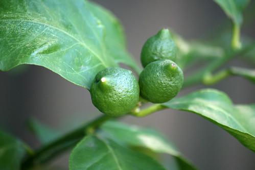 meyer's lemons 2