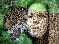 me jaguared