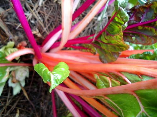 swiss chard love <3