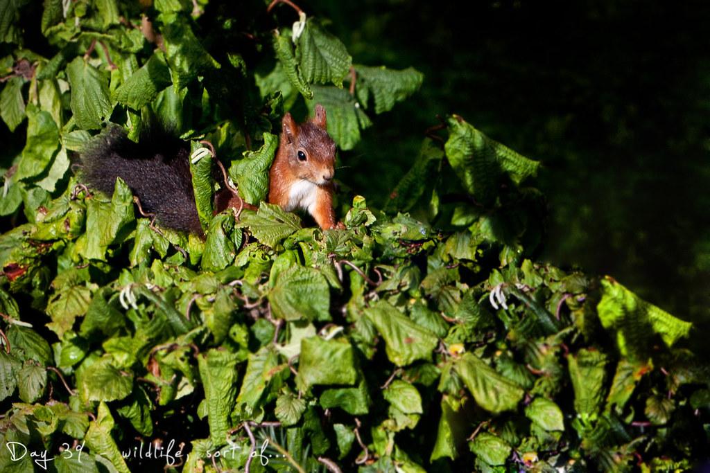 project 365, day 38, 038/365, squirrel, cute, morning light, garden, hazelnuts
