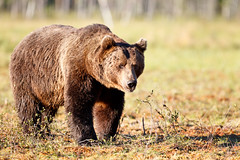 Suomussalmi, Martinselkosen Erkeskus, Karhujen katsonta (12 of 45) (MikkoH77) Tags: bear winter usa snow cute nature grass animal horizontal closeup alaska river walking landscape fun outdoors photography cub wake day wildlife hill humor fulllength mother nopeople wyoming females relaxation sideview playful exclusive wading clearsky lookingaway brownbear humaninterest bearcub mouthopen selectivefocus animalsinthewild denalinationalpark oneanimal colorimage armsraised animalhea