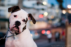 City Dawg (Nick Chill Photography) Tags: california city portrait dog pet night puppy photography lights nikon image sandiego bokeh stock canine boxer mansbestfriend sanclemente perky d300s nickchill nikkor50mmf14g