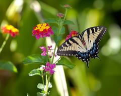 DSBG 9 14 2010 4 (G. H. Holt Photography) Tags: butterfly nc belmont northcarolina swallowtail danielstowebotanicalgardens dsbg ghholt canon70200mmf28lisii
