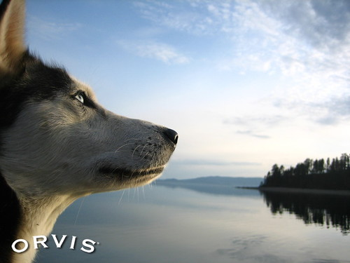 Orvis Cover Dog Contest - Denali