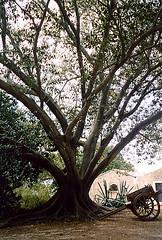 Sicilia (La minina) Tags: park italy tree castle italia sicily sicilia carrettosiciliano parcodelcastellodidonnafugata unalberomeraviglioso gettyimagesitalyq1