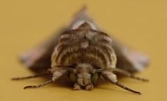 Thyatira batis (T.I.T.A.) Tags: naturaleza macro natura tita insecto polilla thyatirabatis carmensolla bgndaxd carmensollafotografía carmensollaimágenes