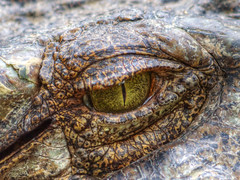 Crocodiles Tear (Dr.Fitz!  (Trying to catch up again!!)) Tags: travel iris portrait black green nature up animal canon thailand dangerous close skin reptile wildlife crocodile phuket predat