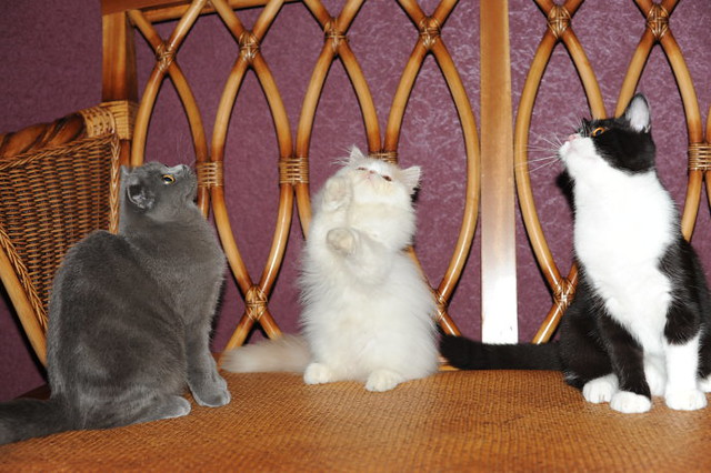 cute persian kitten playing with scottish fold and tuxedo cats