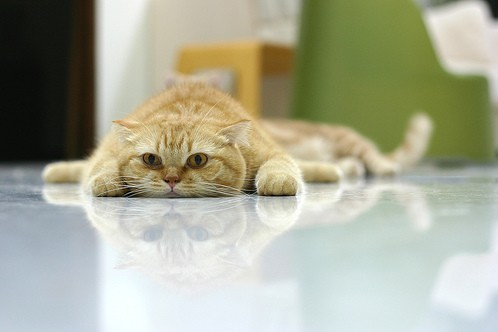 cute scottish fold orange kitten lying flat cat pic