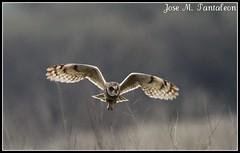 5-Su victima esta viva y tiene la posibilidad de salvarse o escapar. Ahi esta la justeza de este tipo de cazeria!!Su victima se dirige a la izquierda y ella la sigue con su mirada!!Nuco-Lechuza de sabana-Asio flammeus-Short eared-Owl.Batuco, Chile. (Cimarrón Mayor 15,000.000. VISITAS GRACIAS) Tags: chile naturaleza bird fauna ave nocturna libre oiseaux búho sabana nuco panta rapaz lechuza shortearedowl asioflammeus dominicano batuco diurna canoneos7d canon7d libertee cimarronmayor telefoto700 lechuzadesabana chile0 másactivaalamanecer másactivaalatardecer humedalespantanosos