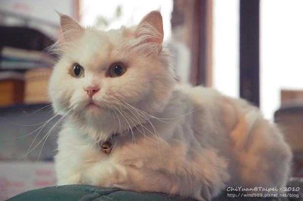 [叮叮]Cat。無辜大眼vs可憐沙發