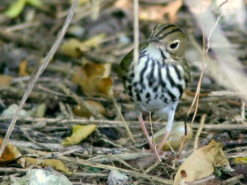 Ovenbird 20100916
