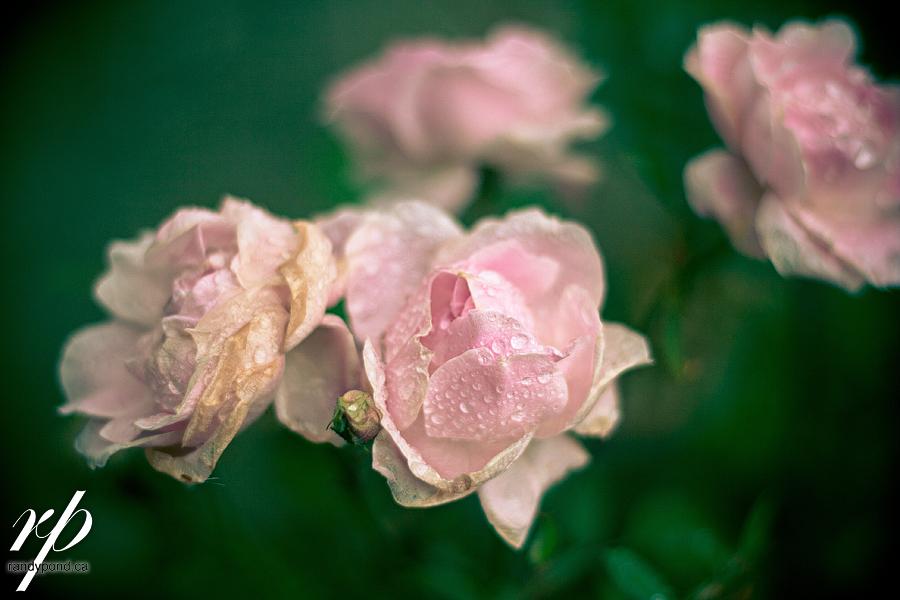 ~ 263 Last Roses of 2010 ~