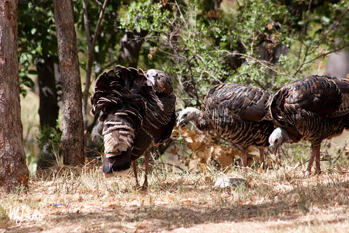 gobblers2