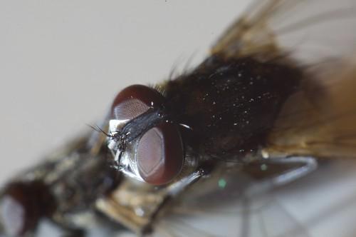 mosca necrófila