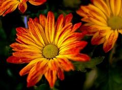 Sundance (T i s d a l e) Tags: summer field nikon farm august daisy sundance 2009 potted easternnc tisdale d40