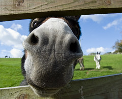 Donkey saying hello! (Alastair Cummins) Tags: ass donkey devon sanctuary sidmouth