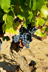 Red grenache grapes, Chateauneuf-du-Pape (levork) Tags: france grapes provence grenache