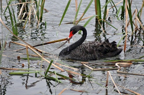 Black swan collecting reeds for nest