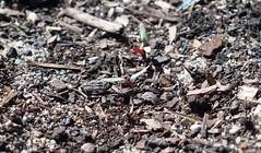 Detroit Dark Red Beetroot