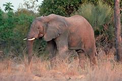 Lufupa Elephant #1