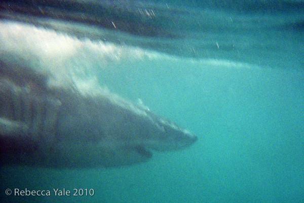 RYALE_Great_White_Shark_Diving-1