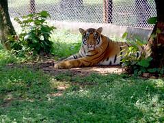 Royal bengal tiger (avinashT166) Tags: royalbengaltiger tigernandankanan