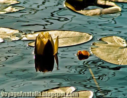 Abant Gölünde Nilüferler