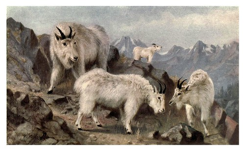 003-cabras montañesas del canada-Canada-1907- Thomas Martin Mower