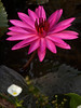 PA016886 LR2 (Pink Water Lily) Early morning beauty (arifaqmal) Tags: firsttheearth