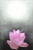Pink Lotus Flower -IMG_0827-1 (Bahman Farzad) Tags: flower macro yoga peace lotus relaxing peaceful meditation therapy lotusflower lotuspetal lotuspetals lotusflowerpetals lotusflowerpetal