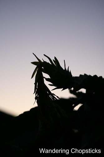 7.15 Dragon Fruit at Sunset 4