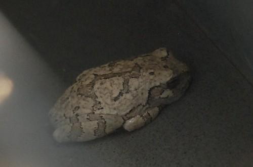 Mailbox Treefrog