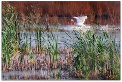Bird - Trumpeter Swan (blmiers2) Tags: usa bird blanco nature birds fauna reeds geotagged nikon wildlife birding feathers upstate cattails swamp wetlands montezuma faves centralnewyork ripples fingerlakes blanc trumpeterswan anatidae anseriformes thenatureconservancy cygnusbuccinator montezumanationalwildliferefuge montezumawildliferefuge birdphoto nikond40x swamp birdsofnorthamerica quillpens dailynaturetnc10 photocontesttnc10  cygnesdetrompettiste trompetterzwanen blm18 blmiers2