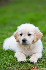Lee's Golden Retriever (korylp) Tags: red dog playing cute green grass goldenretriever puppy toys golden backyard dof bokeh running retriever paws laundrybasket
