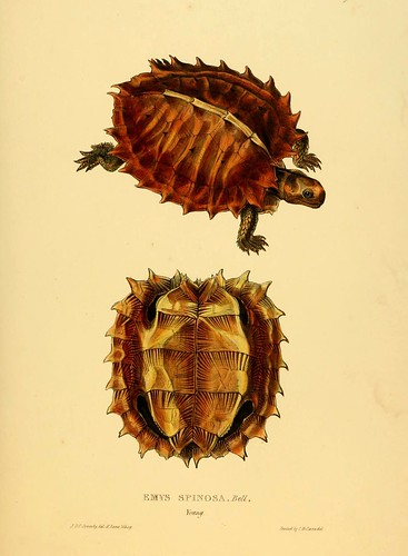 014-Emys Spinosa .Bell joven-Tortoises terrapins and turtles..1872-James Sowerby