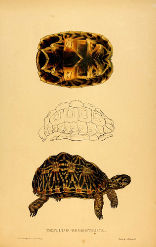 019-Testudo Geometrica-Tortoises terrapins and turtles..1872-James Sowerby