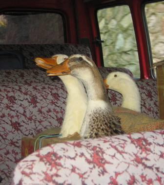 ördekler