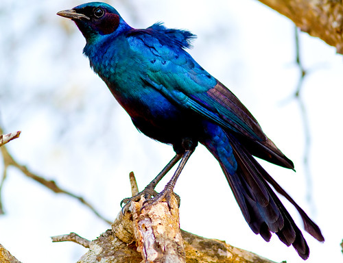 Burchell´s Starling.