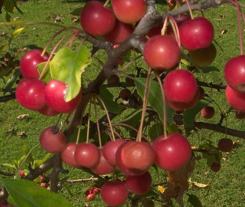 Ripe Crabapples, October 8, 2010