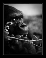 Gorila (Kepa_photo) Tags: art zoo raw olympus zoológico zuiko euskalherria euskadi paisvasco 43 gorila cabárceno fourthirds olympuse1 digital43 livemos kepaphoto kepaargazkiak