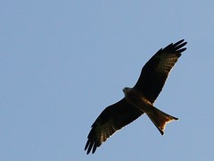 Red Kite (algo) Tags: light garden fly wings head tail hover redkite milvusmilvus accipitridae sixfootwingspan