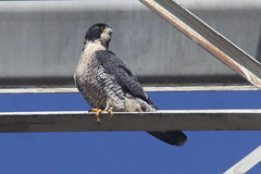 Veer-IMG_5882-Alviso-crop (gimlack) Tags: birds veer peregrinefalcon falcoperegrinus 100400 alvisocalifornia