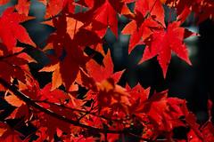 Autumn colors (Aspiriini) Tags: autumn fall suomi finland leaf foliage japanesemaple acerpalmatum syksy lehti ruissalo lehdet jonilehto smoothjapanesemaple turunseutu aspiriini japaninvaahtera