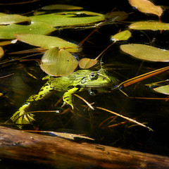 The protected Pool Frog enjoying the sunshine (Bn) Tags: vlieland topf50 amphibian frog topf100 groene kleine 100faves 50faves poolfrog specanimal ranalessonae waddenisland lessonae poelkikker europeanfrog kikkerpelophylax