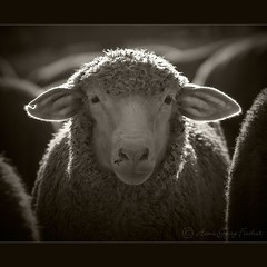 centered (hgviola ) Tags: portrait bw sepia backlight nikon sheep ears bn sw nikkor gegenlicht ohren schaf d80