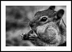 100815 Oregon 8042 HDR (Kyle Bailey - Da Big Cheeze) Tags: wild blackandwhite nature animal mammal furry chipmunk wilderness hdr kylebailey rookiephoto dabigcheeze wwwrookiephotocom