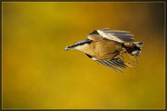 The journey is the destination (hvhe1) Tags: autumn bird fall nature colors animal speed golden wings bravo bokeh wildlife vlucht herfst flight natuur nuthatch beech vogel herfstkleuren kleur interestingness2 beuk vleugels boomklever specanimal hvhe1 hennievanheerden avianexcellene